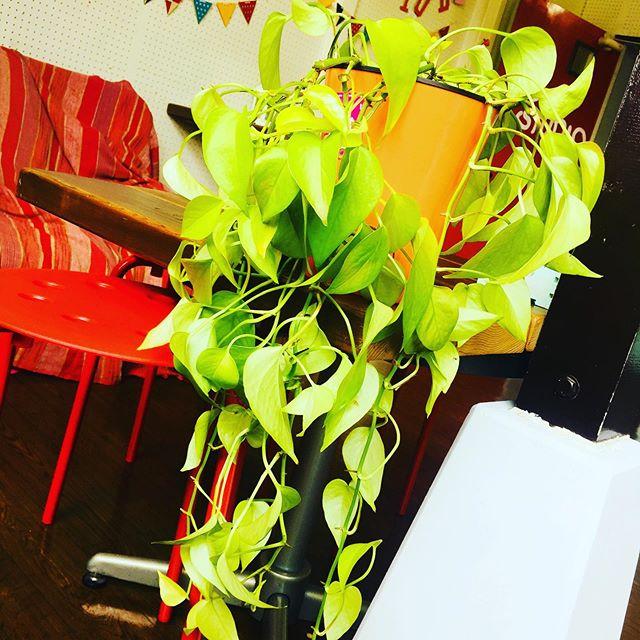 観葉植物を日光浴してまーす♫最近元気がなかったので、元気を取り戻して欲しいです スタジオエチュード引山店今日も元気にオープンしましたー!!! 今日はどんな人が来るかなー?お問い合わせ待ってまーす^_^ tel 052-760-6607#アップライトピアノ #名古屋市 #音楽教室 #習い事 #リハスタ #レコスタ #レコーディング